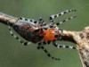 Araña tejedora roja/Red Spider Weaver