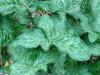 Arum/Italian arum