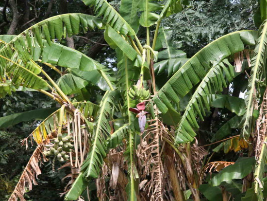Banano/Banana plant