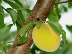 Duraznero/Prunus persica