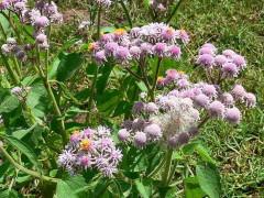 Falsa chilca/Solanum hecathantum