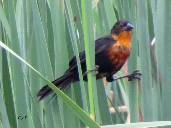 FederalJ/Scarlet-headed Blackbird J