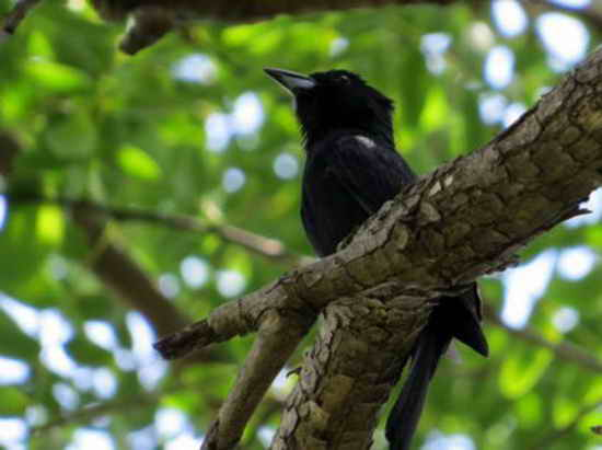 Frutero negro/White-lined Tanager M