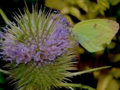 Limoncito común/Common Yellow