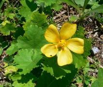 Malva rastrera/Modiolastrum malvifolium
