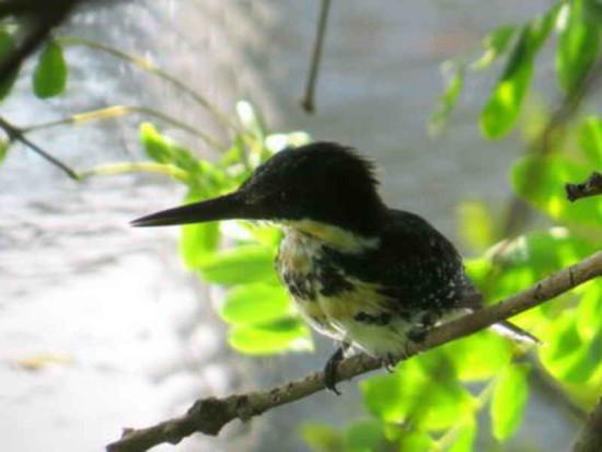 Martín pescador chicoH/Green Kingfisher F