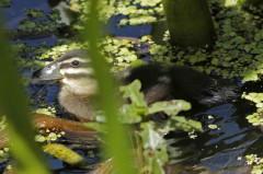 Pato fierro C/Masked Duck C