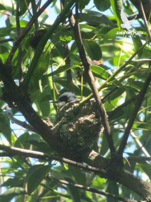 Tacuartia azul/Masked Gnatcatcher