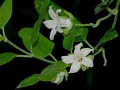 Tasi/Common moth vine