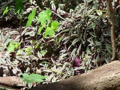 Oreja de tigre/Spiderwort