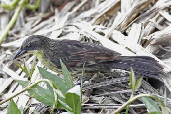 Varillero negroH/Unicoloured BlackbirdF