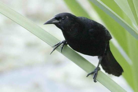 Varillero negroM/Unicoloured BlackbirdM
