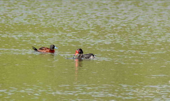 Pato zambullidor chico M/Lake Duck M