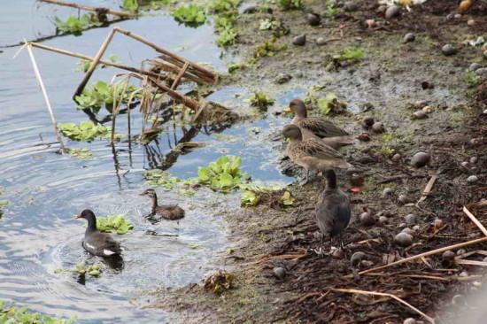 Acuáticas/Waterfowl