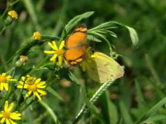 Claudina Limoncito/C. Crescent Common Yellow