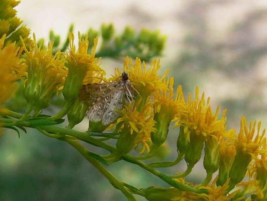 Flia Crambidae