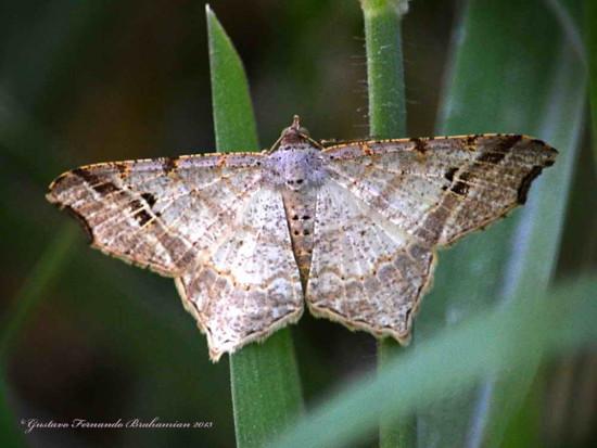 Macaria sp