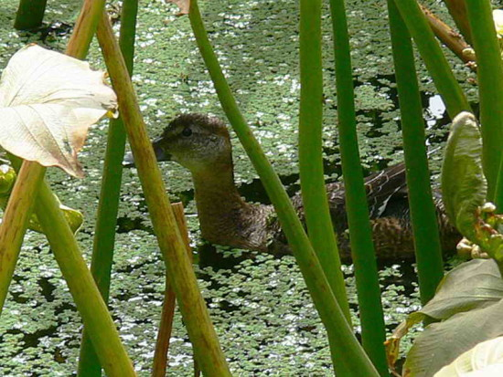 Pato cabeza negra H/Black-headed Duck F