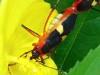chinche tricolor DOF 2 15