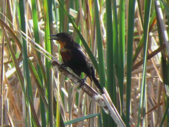 Federal J/Scarlet-headed BlackbirdJ