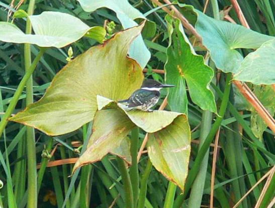 Martín pescador chico H/Green Kingfisher F