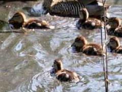 pato capuchinoC PMF 10 13