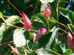 Sacha huasca/Dolichandra cynanchoides