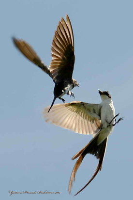 Tijereta G.Parda/Flycatcher G-b Martin