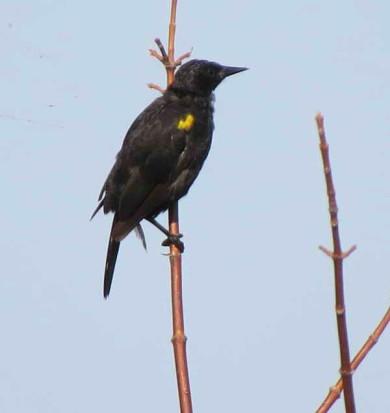 Varillero ala amarillaM/Yellow-winged BlackbirdM