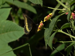 Borde de oro/Polydamas Swallowtail