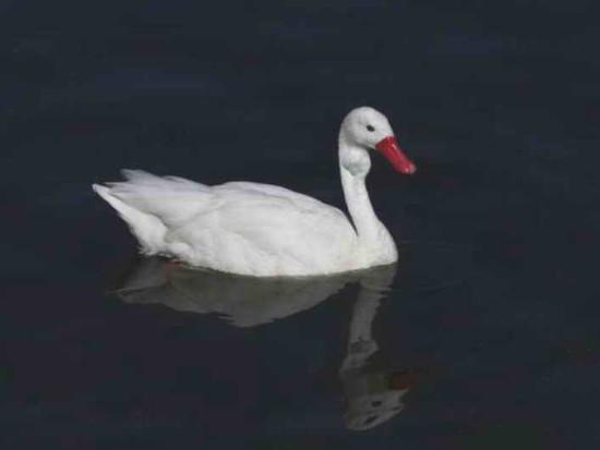 oscoroba/Coscoroba Swan