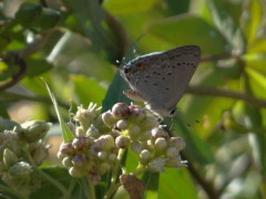 Frotadora común/Eurytulus Scrub-Hairstreak