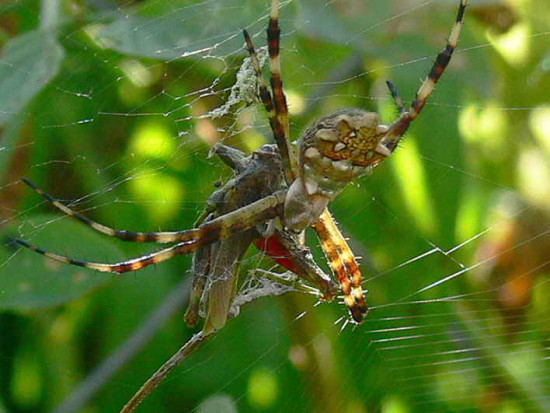 Araña tigre/Silver argiope