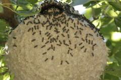 Camuati/Camuati wasp