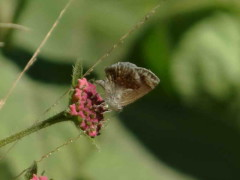 Frotadora enana/Lantana Scrub-Hairstreak