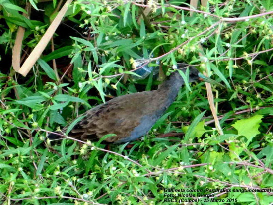 Gallineta común/Plumbeous Wood-Rail