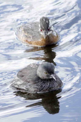 Macá gris y común/Least and White-tufted Grebes