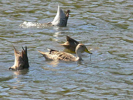 Pato maicer/Yellow-billed Pintail