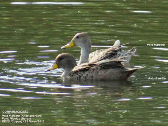 Maicer-barcino/Yellow-billed Pintail and Teal