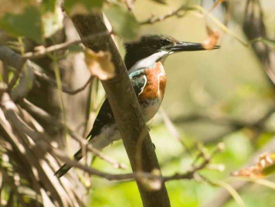 Martín pescador chico M/Green Kingfisher M