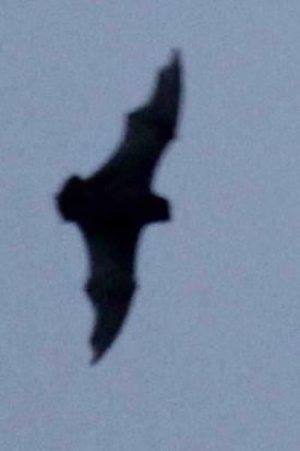 Murciélago/Bat