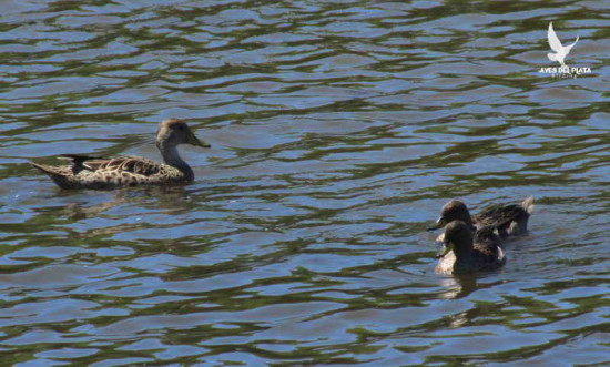 Maicero-barcino/Yellow-billed Teal -Pintail