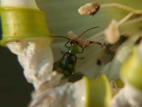 Vaquita de las cucurbitáceas/Cucurbit beetle