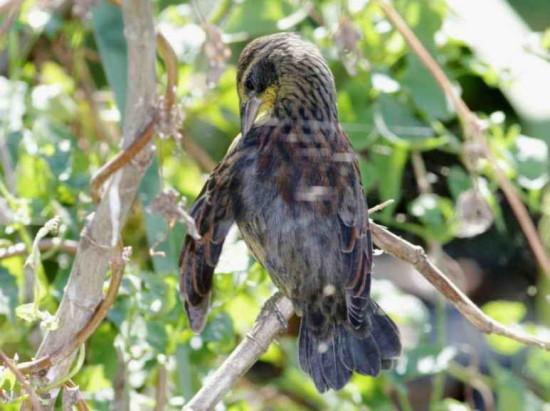 Varillero negro/Unicoloured Balckbird
