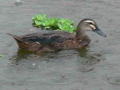 Ánade real vd/Dv Mallard Duck