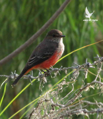 Churrinche MJ/Vermilion Flycatcher JM
