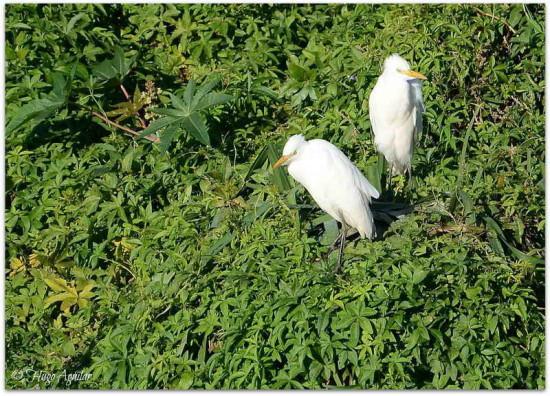 Garza blanca/Great Egret