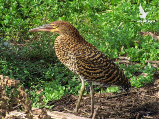 Hocó colorado/Rufescent Tiger-Heron