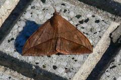Isoca de las leguminosas/Velvetbean Moth