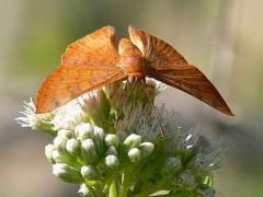 Acróbata rojiza/Russula Metalmark